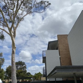South Perth tree pruning